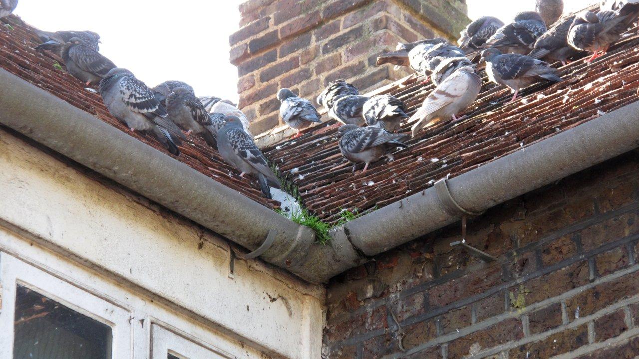 Se debarrasser des pigeons - Se debarrasser des pigeons ...